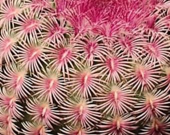 Echinocereus rigidissimus, rubrispinus, Rainbow Hedgehog, Arizona rainbow cactus, cactus, succulent, live plant