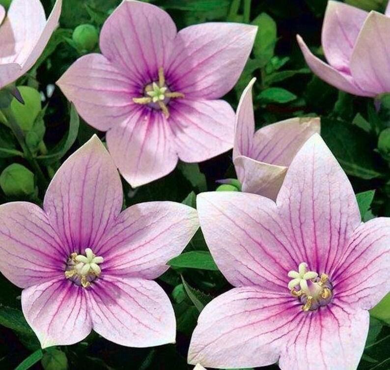Platycodon 100 seeds non GMO