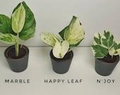 Pothos N 39 Joy - Happyleaf Manjula - Marble Queen - Soil Rooted Cuttings - Indoor Plant - Houseplant - Pothos and Joy - Epipremnum N Joy