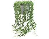 String of Pearls Senecio rowleyanus Hanging succulent house plant Range sizes from 14cm pots to cuttings