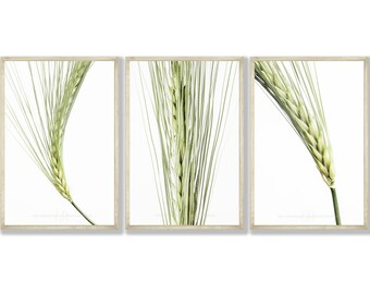 Set of 3 Natural Barley Prints, Single Print also available , 2 Print Sizes A3 & A4 , FREE UK Delivery and Fast Shipping