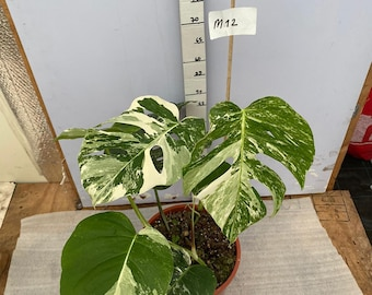 USA - Monstera albo variegata large 2 stems - shipped with phytosanitary certificate
