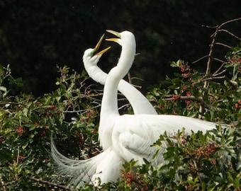 Honey I'm Home - 2 Great Egrets celebrating the return of a mate