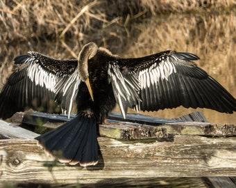 Anhinga Drying its Wings