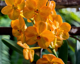 Sunny Orchids