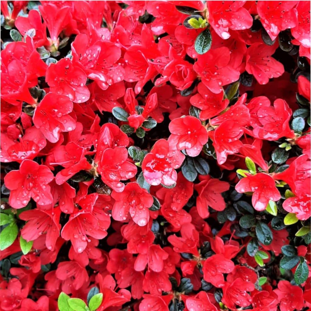 Literie florale, literie de fleur rouge, literie de fleur, couette de fleur rouge de sang, literie de modèle, rosée, couverture de couette de reine