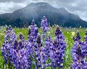 Wild Lupines in Waterton Park, Canada: A Wildflower Greeting Card