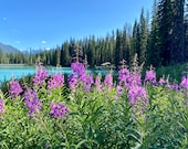 Fireweed at Emerald Lake, Canada: A Wildflower Greeting Card