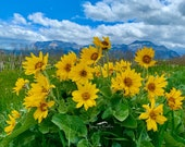 Balsamroot: A Canadian Wildflower Blank Card (or add your greeting) Photo Greeting Card; order single or boxed gift sets; free delivery