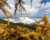 Fall Mountain Larches: This original Canadian photo card features the golden larch trees, framing Mt. Lipalian, near Lake Louise..