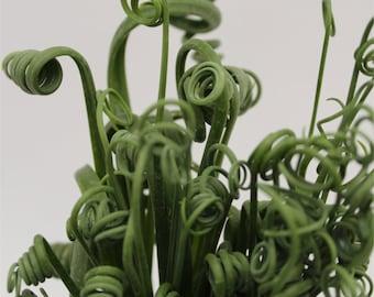 Albuca spiralis 'Frizzle Sizzle – Corkscrew Albuca (4.5″ Pot)
