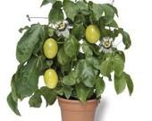 Passion Fruit Plant Seeds, Dwarf