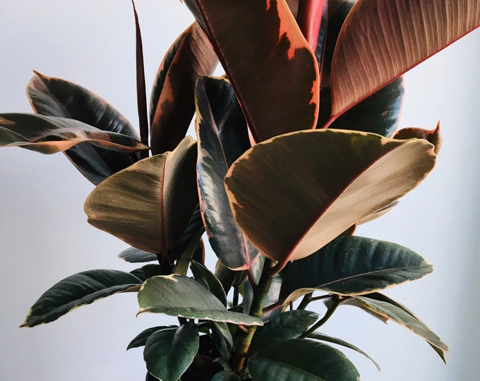 """Featured listing image: Massive Ficus elastica Red Ruby, 6"""" pot, 50cm tall (Indian rubber tree), Multiple Stems 3-5! Expedited Canada-Wide Included (Free Shipping)"""
