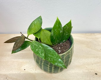 "Hoya Gracilis Memoria 2.5"" pot - Locally Grown in Canada"
