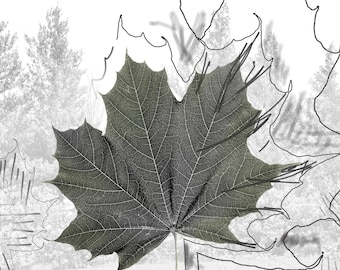 Printing on photographic paper of a contemporary artistic work.  Herbier theme, title: Norwegian Maple - Acer platanoides