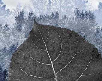 Printing on photographic paper contemporary artistic work. Herbier theme, title: Poplar deltoide - Populus deltoides