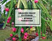 Dragon Fruit Cuttings DragonFruit Cutting Dragon Fruit Plant Pitaya Plant
