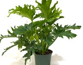 Philodendron Split Leaf Selloum, 6In Grower Pot, Live Plant, Indoor Air Purifier 17-19in Tall
