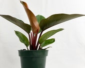 Philodendron Red Congo, Rojo Congo, 6In Grower Pot, Live Plant, Indoor Air Purifier 20-24in Overall Height