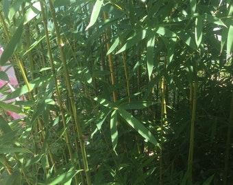 1 Golden Bamboo Rhizome Shoot