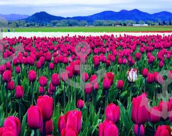 Pacific Northwest Photography Print Metal Skagit Valley Tulip Festival Lustre Canvas