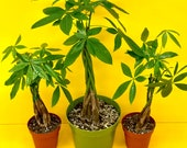 Live Pachira Aquatica - Live Money Tree quot Money Plant quot - Live Guiana Chestnut - Malabar Chestnut - Available In 4 Pot