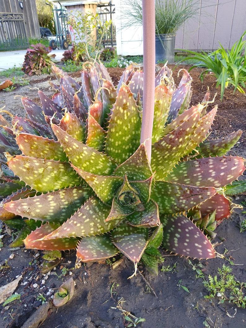 Succulent Cactus Plant Aloe Vera Maculata Soap Aloe