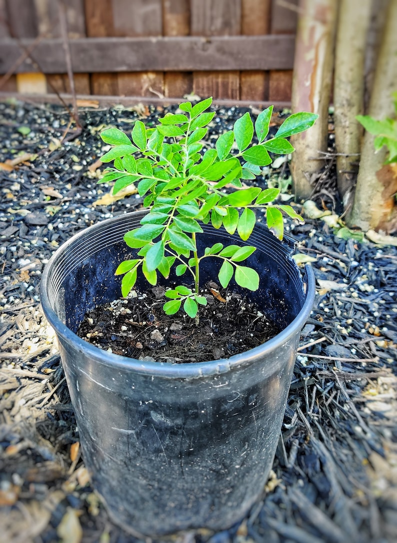 Plante de feuilles de curry feuille de cari plante de | Etsy