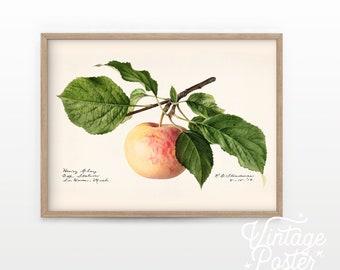 "Apple Fruit Print, Vintage Apple Poster, Botanical Fruit, Vintage Kitchen, Minimalist Print, Tropical Wall Art, Farmhouse Decor up to 24x36"""