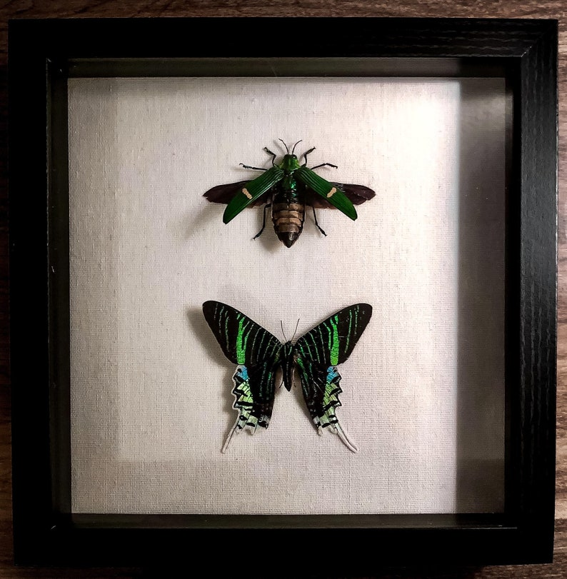 Local Pick-Up Only  Sunset Moth and Jewel Beetle in Shadow image 1