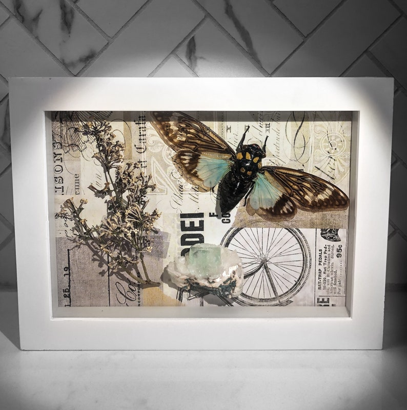 Local Pick-Up Only  Tosena Splendida Cicada Dried Floral image 1