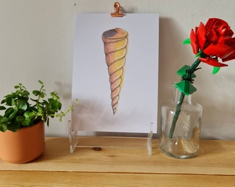 Orange Cone Shell - Watercolour and Ink - Print