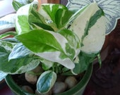 POTHOS Pearls and Jade
