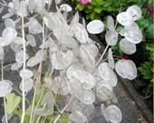 Money Plant Honesty Silver Dollar Lunaria Moonwort Chinese Money Monnaie du Pape Seeds Non GMO Heirloom