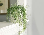 String of Dolphins 2 inch Senecio Peregrinus Live Succulent Hanging Plant Indoor Plant House Plant