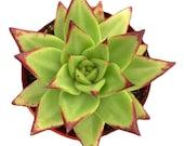 Echeveria Lipstick 2 inch Echeveria Agavoides Live Succulent Plant Indoor Plant House Plant