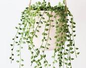 String of Pearls 2 inch Senecio Rowleyanus Live Succulent Hanging Plant Indoor Plant House Plant