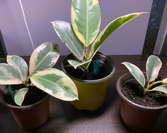 """Rubber Ficus Tineke - Starter Plant - Established Roots - Mailed in 3.5"""" Pot"""
