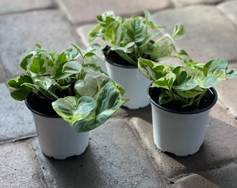 """Pearls and jade pothos starter plant 4"""" pot"""