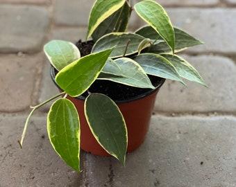"Hoya Latifolia (previously macrophylla) in 6"" pot"