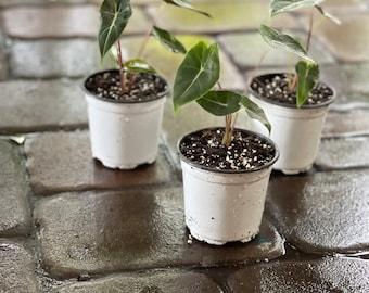 Alocasia Dragon's Tooth starter plant