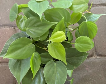 """Heartleaf philodendron 6"""" pot philodendron cordatum"""
