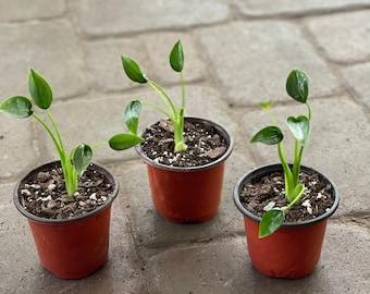 Alocasia tiny dancer starter plant