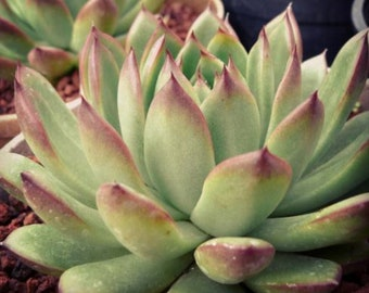 Echeveri agavoides /'crystal ebony/' 水晶乌木 Imported from Korea Rare Succulent