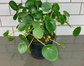 6 Pilea Peperomioides Chinese Money Plant