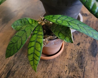 RARE Hoya 'Callistophylla' Plant in terracotta pot