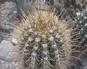 Trichocereus terscheckii 20 seeds Argentine saguaro