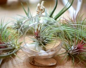 Air Plant Glass Terrarium Kit - Hanging Glass Ball 12cm - Home Decor Plants - DIY Terrarium - Live Tillandsia - Plant Gift - Birthday Gift