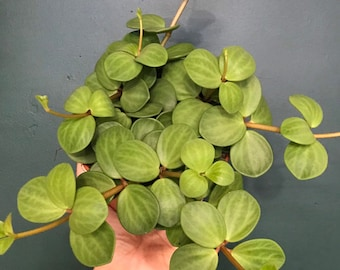 Peperomia Hope | Hope | Indoor Houseplants | Houseplants | Peperomia |