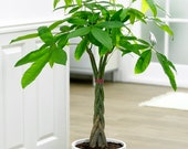 Money Tree Live Plant Potted Lucky Plant Money Plant Pachira Aquatica Houseplant Green Foliage